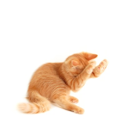 hunter playful: kitten shut muzzle with paws isolated on white background