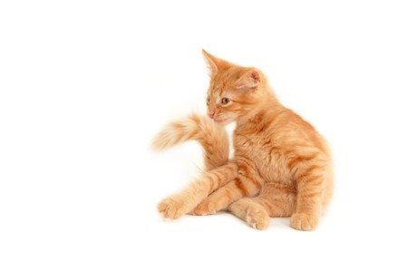 hunter playful: kitten grimace isolated on white background