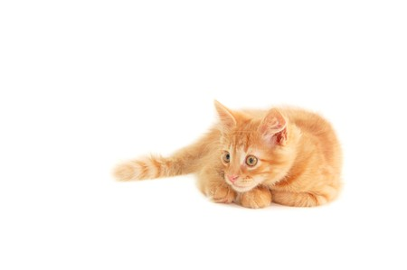 hunter playful: kitten red funny playful isolated on white background Stock Photo