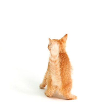 grabbing at the back: back of kitten red playful isolated on white background