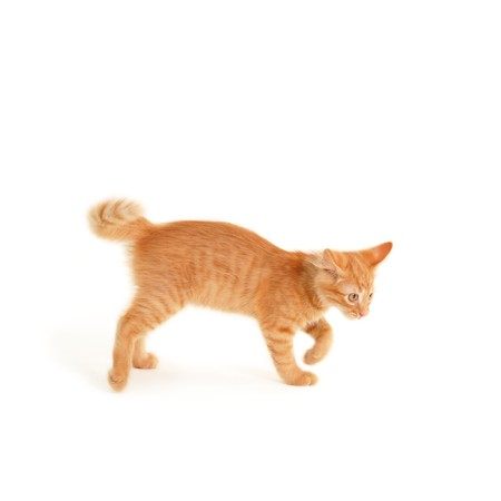 hunter playful: kitten funny isolated on white background