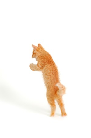 hunter playful: kitten funny standing isolated on white background