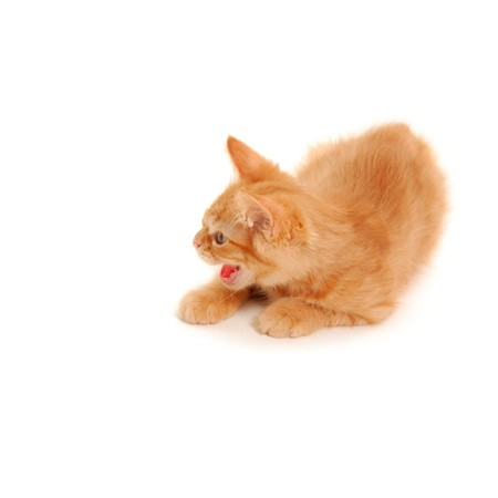 attention grabbing: angry kitten spits isolated on white background