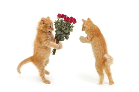 valentine cat: kitten give bunch of flowers to girlfriend isolated on white background