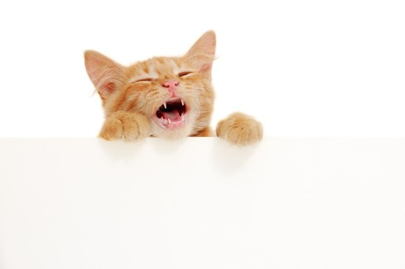 miaul: kitten singing holding blank banner isolated on white background