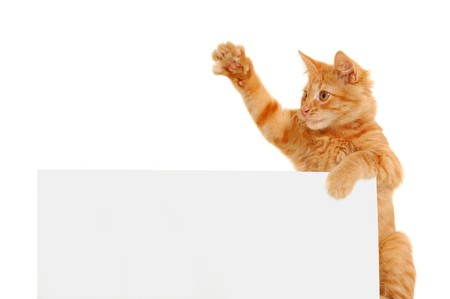 voting paper: kitten agitator holding blank banner isolated on white background