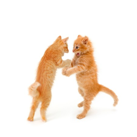 two friends kittens dancing and speaking isolated on white background photo