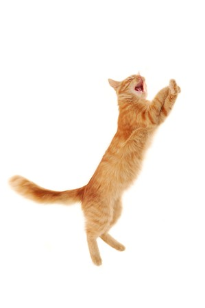 kitten jumping isolated on white background  photo
