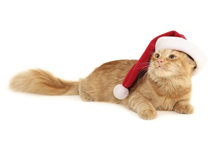 christmas red cat isolated on white background photo