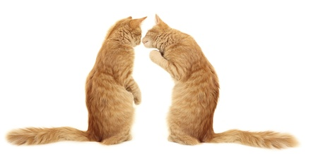 slink: kittens kissing  isolated on white background