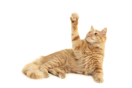 attention grabbing: cat plaful isolated on white background
