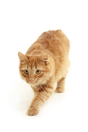 slink: kitten slink isolated on white background Stock Photo