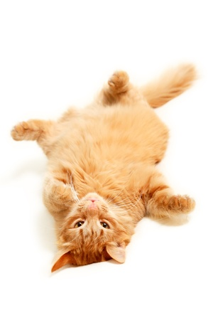 pregui�oso: fat red cat lazy with big paunch lying on the back isolated on white background