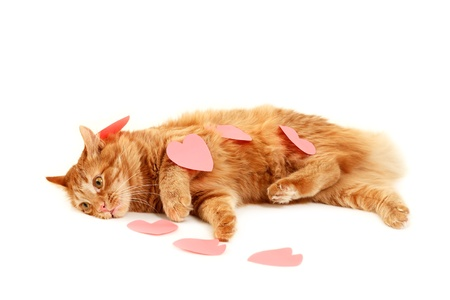 declaration: red cat in heart valentines feels tired of declaration of love isolaed on white background