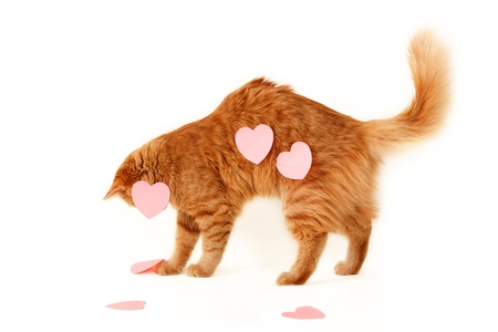 red cat in heart valentines of love isolaed on white background photo