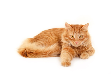 red cat: red cat resting isolated on white background