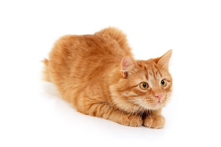 red cat attention lying down isolated on white background photo