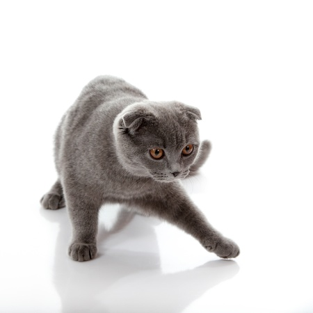 kitten Scottish lop-eared playful isolated on white background photo
