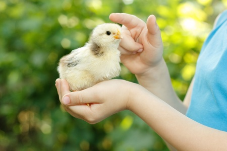 chiken in childs hand care nature outdoor Stock Photo