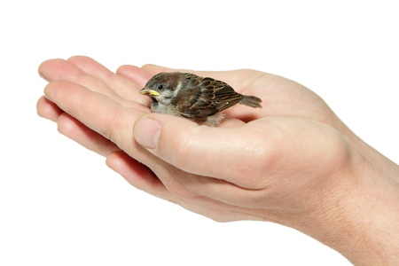 feathering: sparrow chick baby yellow-beaked in male hands isolated on white background
