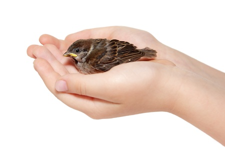 feathering: sparrow chick baby yellow-beaked in childs hands isolated on white background Stock Photo