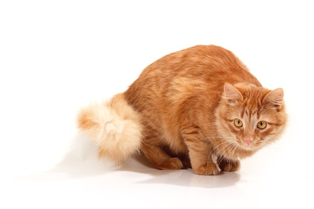 red cat attention isolated on white background Stock Photo - 13497830