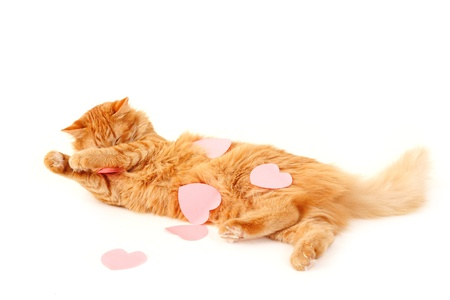 cat in heart valentines feels tired of declaration of love isolated on white background photo