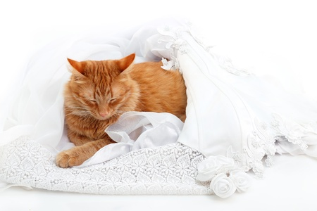 cat red sleeping in bride marriage white dress - lucky married life isolated on white background photo