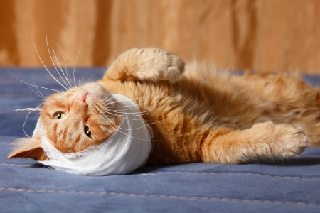 cat ear ache with bandage at home