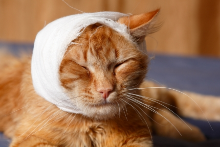 cat ear ache with bandage at home photo