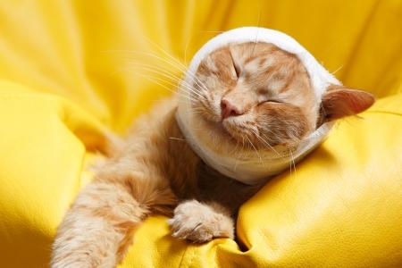 veterinario: dolor de oído del gato con una venda en su casa