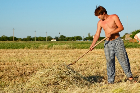 peasant cocks hay hot summer midday