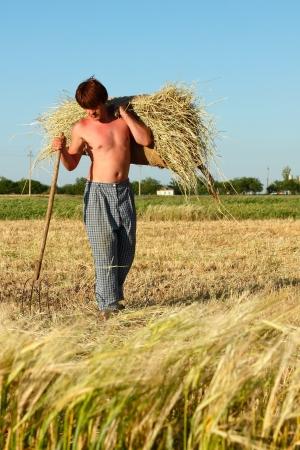 midday: peasant cocks hay hot summer midday