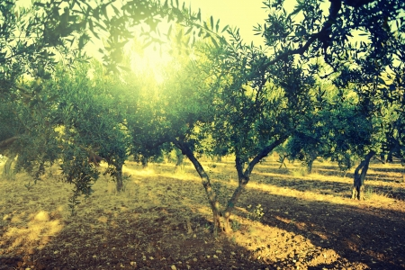 greece: Olive trees garden, mediterranean olive field ready for harvest.