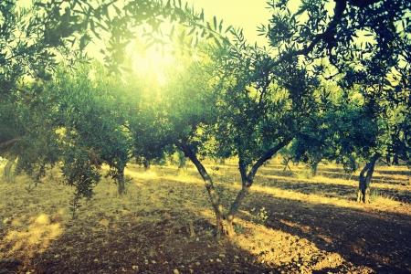 rama de olivo: Olivos Planta jard�n, campo de oliva mediterr�neo listo para la cosecha. Foto de archivo