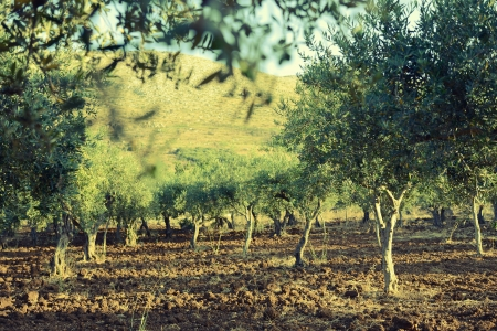 plant oil: Olive trees garden, mediterranean olive field ready for harvest.