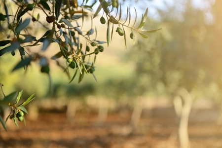올리브 나무 정원, 수확을위한 준비 지중해 올리브 필드. 스톡 콘텐츠