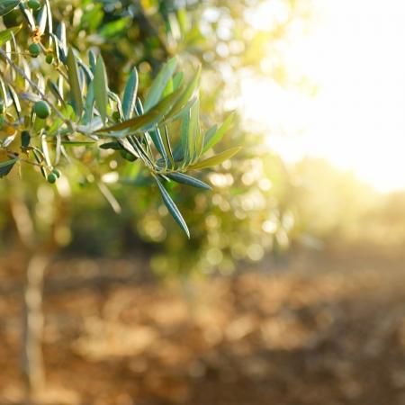 Olijfbomen tuin, mediterrane olijf veld klaar voor de oogst.