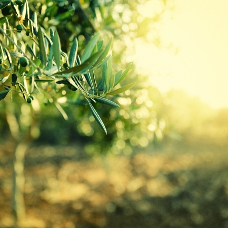 mediterranean countries: Olive trees garden, mediterranean olive field ready for harvest, toned and grain added