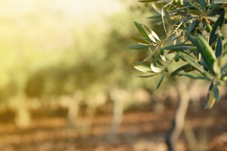 Olive trees garden, mediterranean olive field ready for harvest. photo