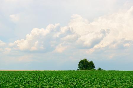 field and sky: paisaje coutry, campo verde, cielo con nubes de luz y �rboles Foto de archivo