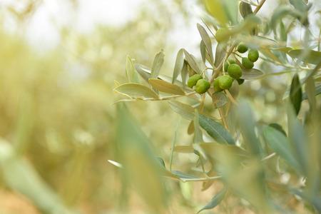 オリーブの木の庭地中海オリーブ畑の収穫の準備ができて。 写真素材