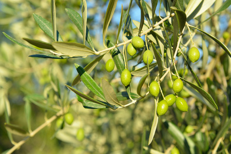 Olive trees garden, mediterranean olive field ready for harvest.