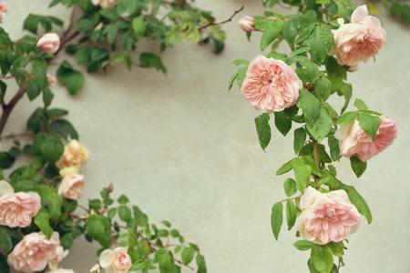 rose bush: Pink blooming rose bush Stock Photo