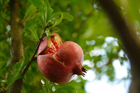 ripe: Pomegranate tree with ripe fruit