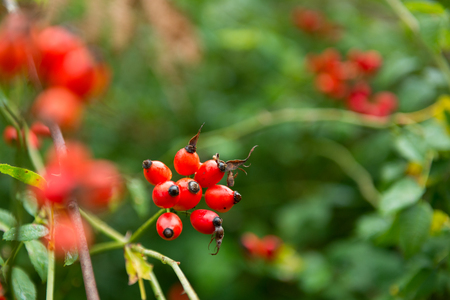 Dogrose. Closeup view of wet rosehips bunch over green leaves. Autumn forest berry after rain, soft focus. Stock Photo