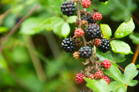 Blackberry. Closeup view of wet blackberrys bunch over green leaves. Autumn forest berry after rain, soft focus.