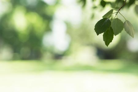 frondage: Beautiful spring nature background with poplar foliage Stock Photo