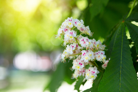Beautiful nature background with blooming chestnut in spring park