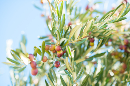 Spanish olive grove, branch detail. Raw ripe fresh olives growing in mediterranean garden ready to harvest. Banque d'images